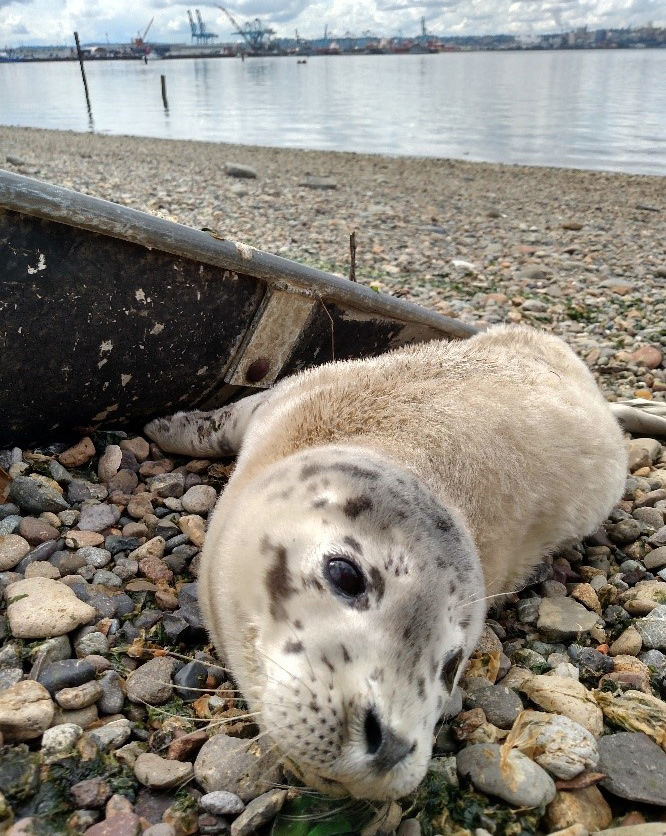 Harbor seal pup resting at a Port of Tacoma habitat site.